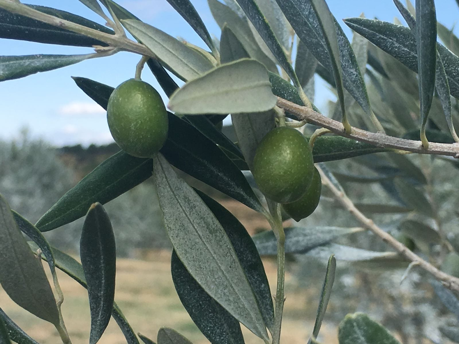 Team Trip To Querubi Olive Grove, South Of France